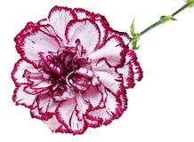 Roze anjerbloem in detail royalty-vrije stock afbeelding