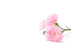 Roze anjerbloem en exemplaar ruimte#2 stock afbeeldingen