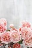 Roze anjerbloemen Stock Foto's