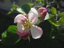 Roze appelbloesems op donkere achtergrond Royalty-vrije Stock Fotografie