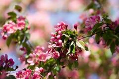 Roze appelbomen. Stock Afbeeldingen