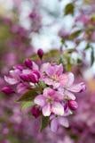 Roze appelboom Stock Foto