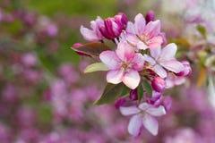 Roze appelboom Stock Fotografie