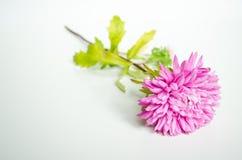 Roze aster Royalty-vrije Stock Fotografie