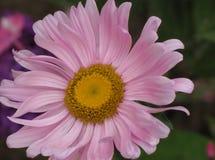 Roze aster royalty-vrije stock afbeeldingen
