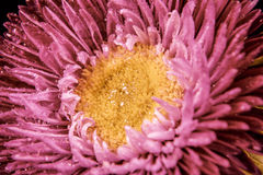 Roze aster in het close-up van waterdruppeltjes Royalty-vrije Stock Foto