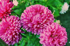 Roze aster op een bloembed stock fotografie