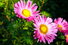 Roze aster in tuin Stock Afbeelding