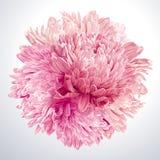 Roze Asters en Chrysantengebied Royalty-vrije Stock Afbeeldingen