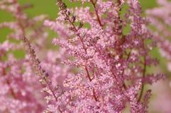 Roze astilbe Royalty-vrije Stock Foto's