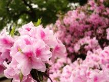 Roze Azalea Royalty-vrije Stock Afbeeldingen