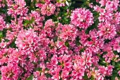 Roze Azalea Royalty-vrije Stock Afbeelding