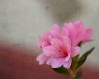 Roze Azalea op Geweven Achtergrond Stock Foto