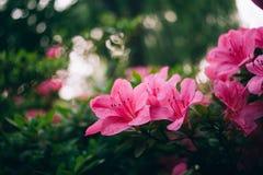 Roze azalea'sstruik stock afbeelding