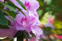 Roze Azaleabloemen Royalty-vrije Stock Afbeeldingen