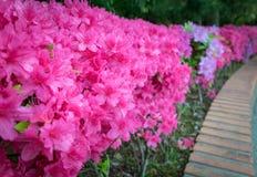 Roze azaleabloemen in tuin royalty-vrije stock fotografie