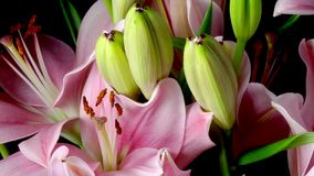 Roze Aziatische Lily Flower Timelapse stock video