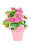 Roze begonia. Royalty-vrije Stock Afbeeldingen