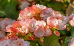 Roze begonia Stock Afbeelding