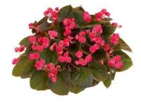 Roze begonia Royalty-vrije Stock Fotografie