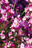 Roze begonia Stock Foto's
