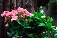 Roze begonia Stock Afbeeldingen