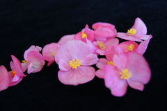 Roze Begonia Cluster Stock Foto's