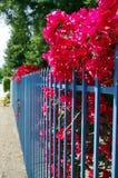 Roze begonia uit omheining Stock Foto