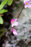 Roze begoniabloem in macro Stock Foto's