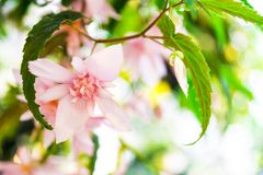 Roze begoniacascade, groene bladeren stock foto's