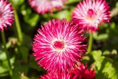 Roze Bellis Stock Afbeeldingen