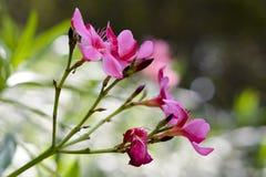 Roze benadrukte bloemen stock afbeelding