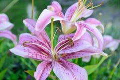 Roze bevlekte lelie in de tuin royalty-vrije stock foto's