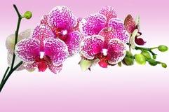 Roze bevlekte orchideephalenopsis stock afbeeldingen