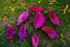 Roze blad op de daling van de boom Stock Foto