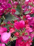 Roze bladeren Stock Afbeeldingen