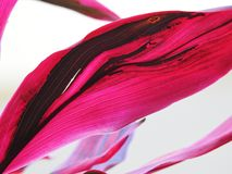 Roze bladeren op witte achtergrond royalty-vrije stock afbeeldingen