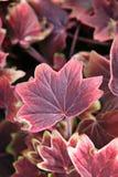 Roze bladinstallatie Stock Foto's