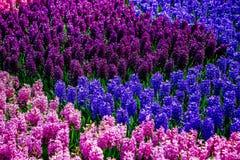 Roze, Blauwe en Purpere bloemen in een tuin van Holland Royalty-vrije Stock Foto's