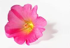 Roze bloei Royalty-vrije Stock Afbeelding
