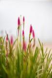 Roze bloei Royalty-vrije Stock Foto
