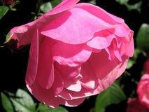 Roze bloeien nam in het park toe royalty-vrije stock afbeeldingen