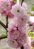 Roze bloeiende bloem Royalty-vrije Stock Foto's