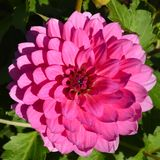 Roze bloeiende dahlia in de zomertuin royalty-vrije stock afbeeldingen