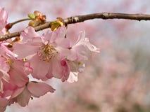 Roze bloeiende kersenbloemen in de lente royalty-vrije stock foto's