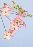 Roze Bloeiende Kornoelje Stock Afbeelding
