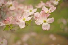 Roze bloeiende kornoeljebloesems Royalty-vrije Stock Afbeeldingen