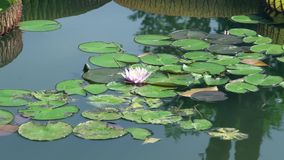 Roze bloeiende lotusbloembloem op waterspiegel in vijver Mooie waterleliebloem op meer stock videobeelden