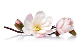 Roze bloeiende magnoliabloem Royalty-vrije Stock Foto's