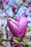 Roze bloeiende magnoliabloem Royalty-vrije Stock Afbeeldingen